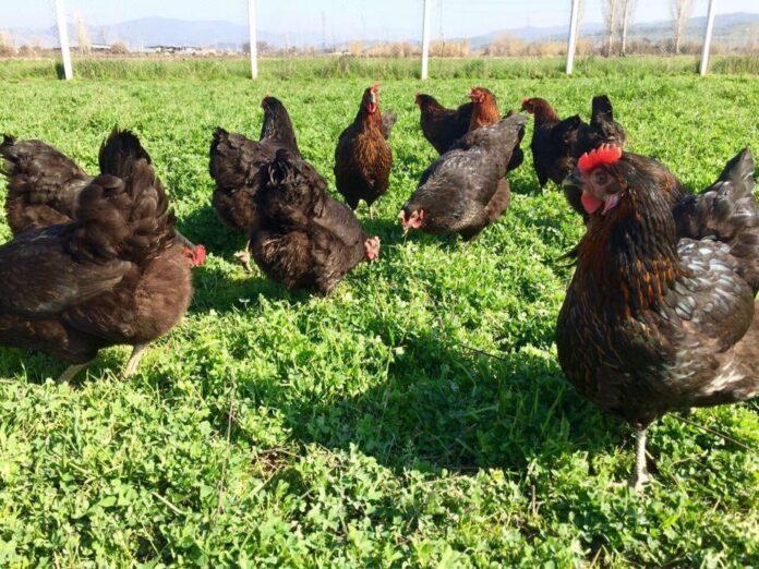 Tavuklar İçin Prefabrik Kümes